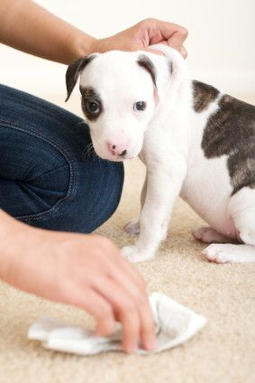 puppy accident removal AV CA